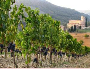 BRUNELLO VINES In MONTALCINO
